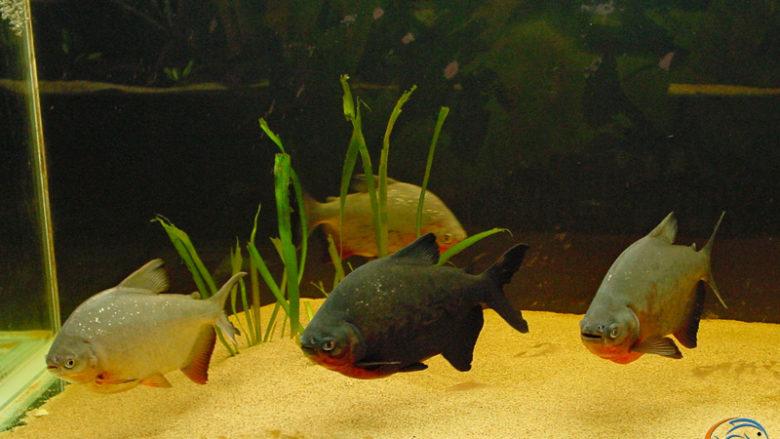 Les pacu, dans l'aquarium de 1000 litres, 15 jours plus tard
