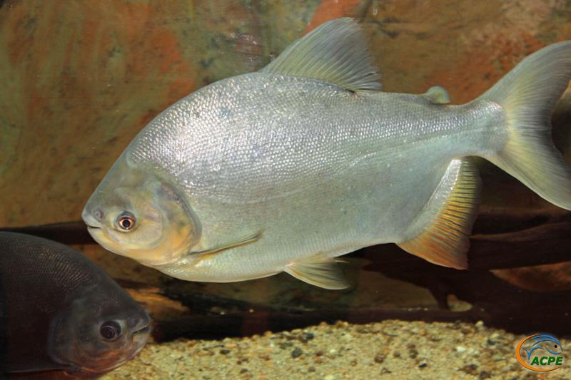 Le pacu, péché en Seine, à l'aise dans l'aquarium de 3000 litres