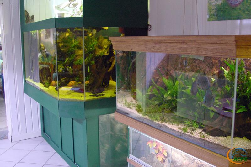 Deux aquariums de cichlidés sud-américains