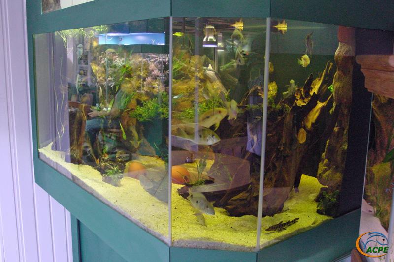 Détail sur aquarium de cichlidés américains