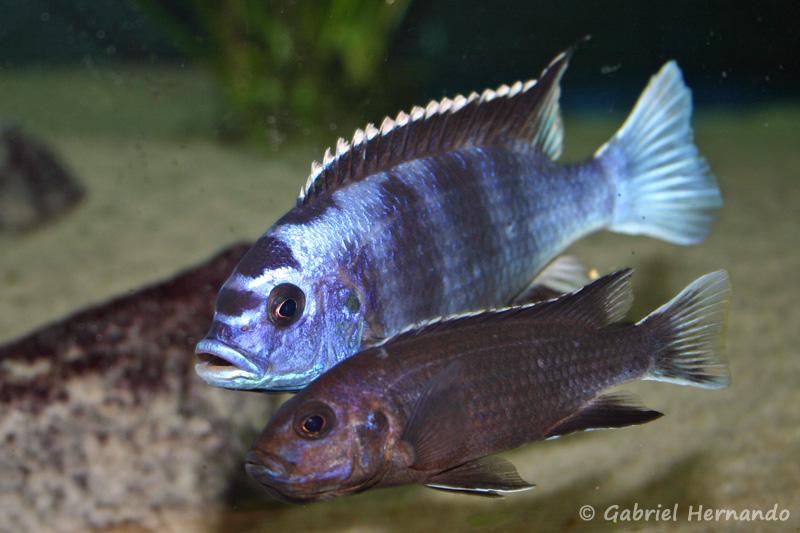 """Pseudotropheus sp. """"acei"""" de Ngara, couple dont femelle en incubation"""