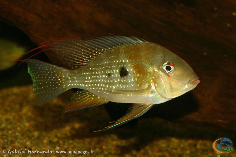 Acarichthys heckelii (2008) - Cichlidae