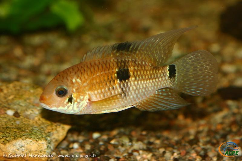 Aequidens patricki (2013) - Cichlidae