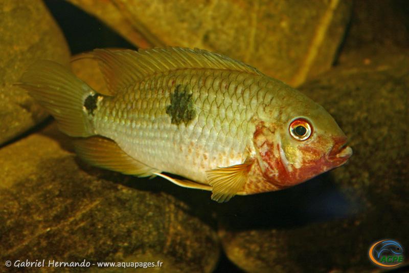 Aequidens tetramerus (2004) - Cichlidae