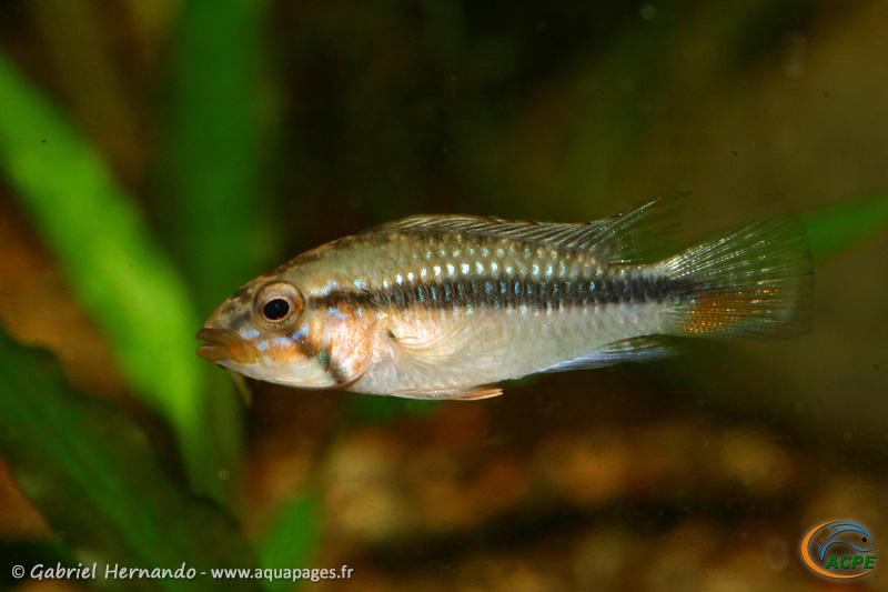 Apistogramma barlowi (2008) - Cichlidae