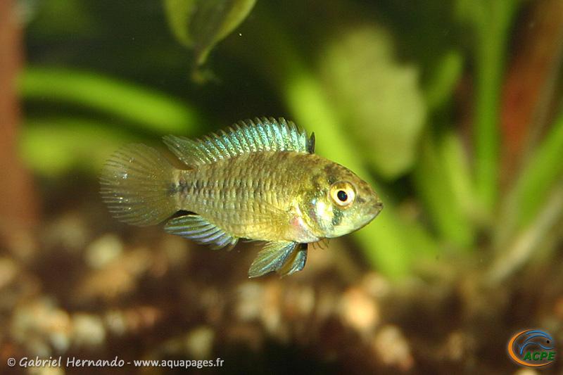 Apistogramma borellii (2006) - Cichlidae