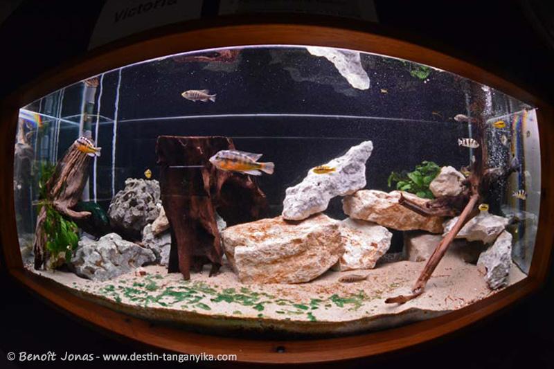 L'aquarium Victoria aménagé dans un 1000 litres (novembre 2014)