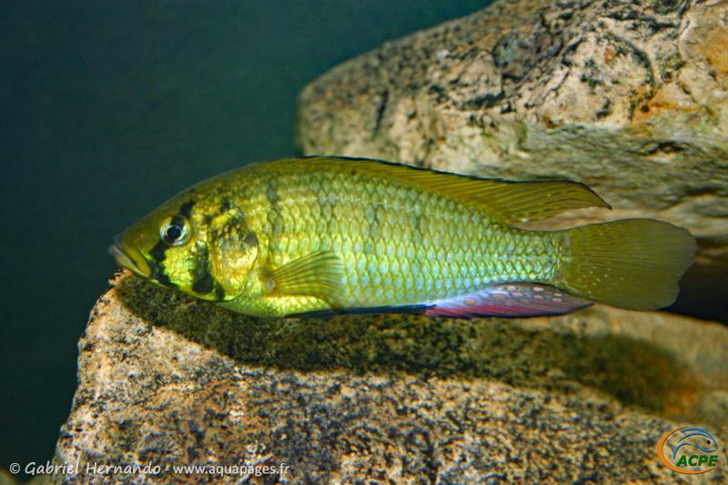 Astatoreochromis allauaudi
