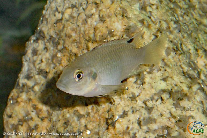 Benitochromis nigrodorsalis (2004) - Cichlidae