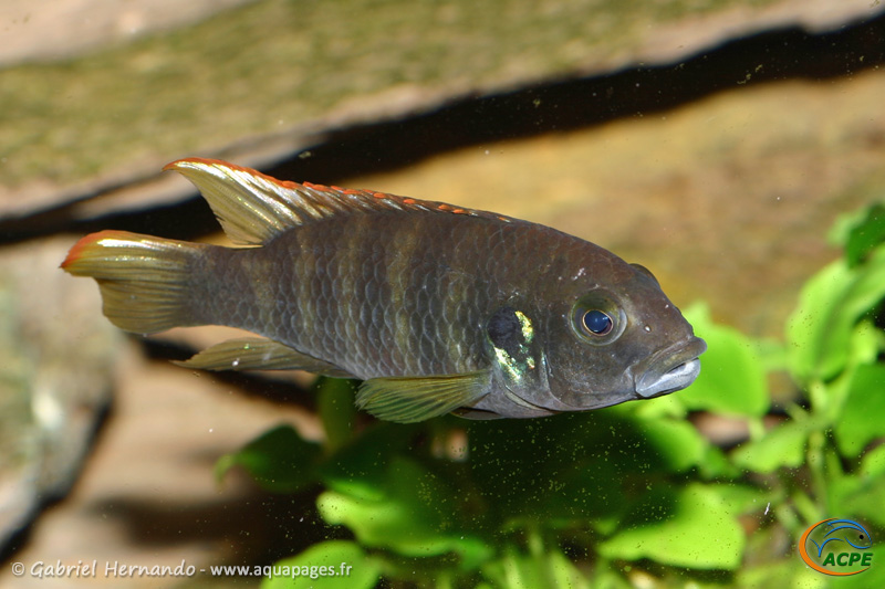 "Benitochromis sp. ""eseka""(2008) - Cichlidae"
