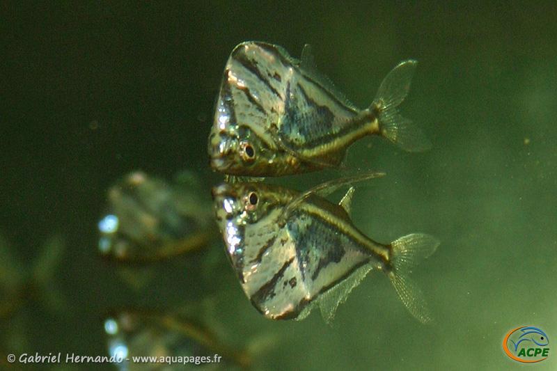 Carnegiella strigata (2004) - Gasteropelecidae