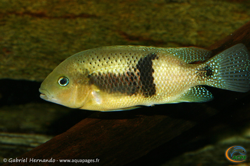 Chuco intermedium (2008) - Cichlidae