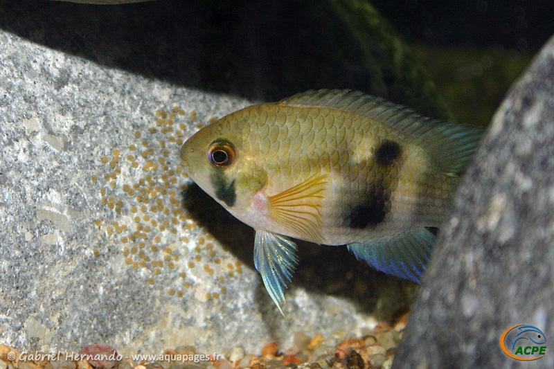 Cleithracara maronii, ponte (2004) - Cichlidae