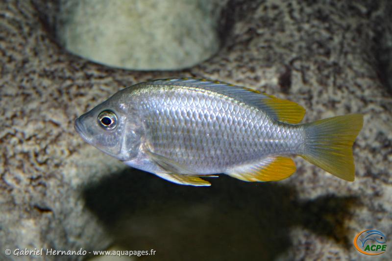 Copadichromis borleyi Kadango, femelle (2006)