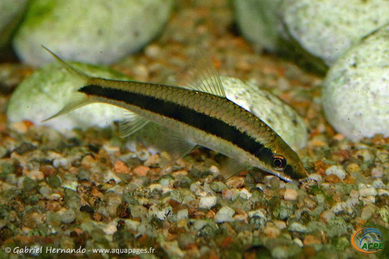 Crossocheilus oblongus (2004)