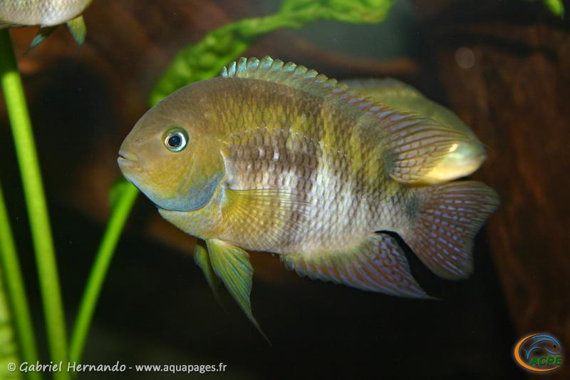 Cryptoheros sajica (2007) - Cichlidae
