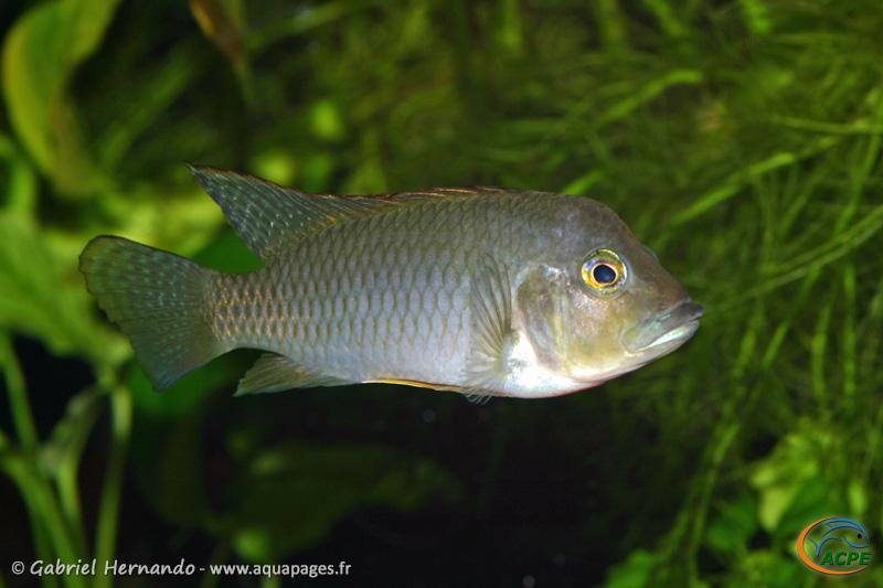 Ctenochromis polli (2008) - Cichlidae