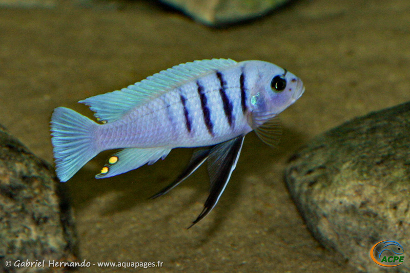 "Cynotilapia sp. ""hara"" Gallireya Reef (2008)"