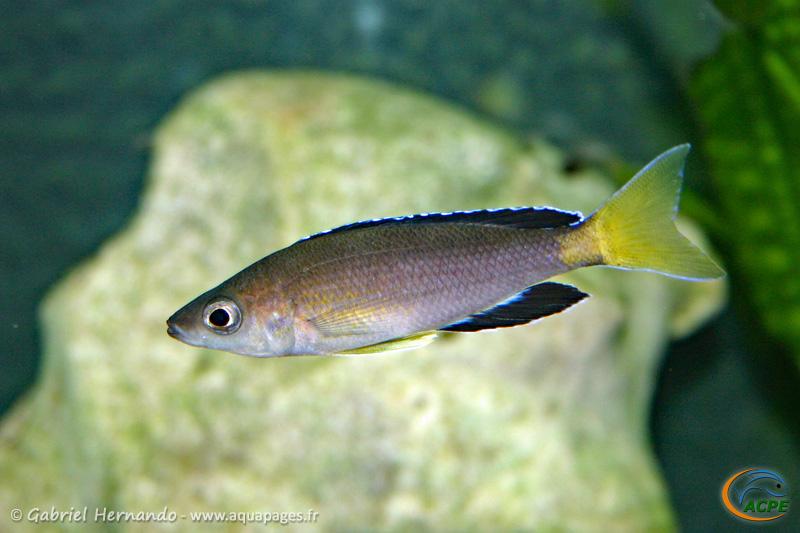 "Cyprichromis sp. ""jumbo"" Chaitika"