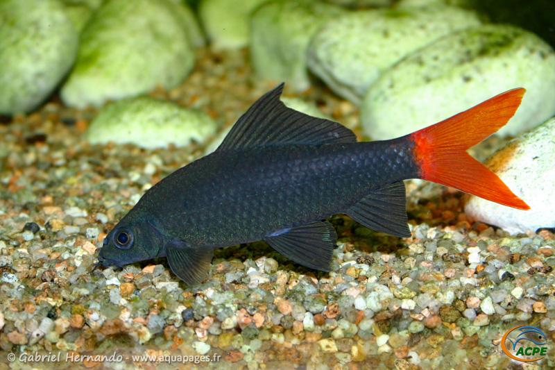 Epalzeorhynchos bicolor (2004)