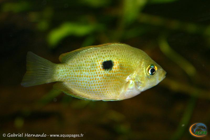 Etroplus maculatus (2004)