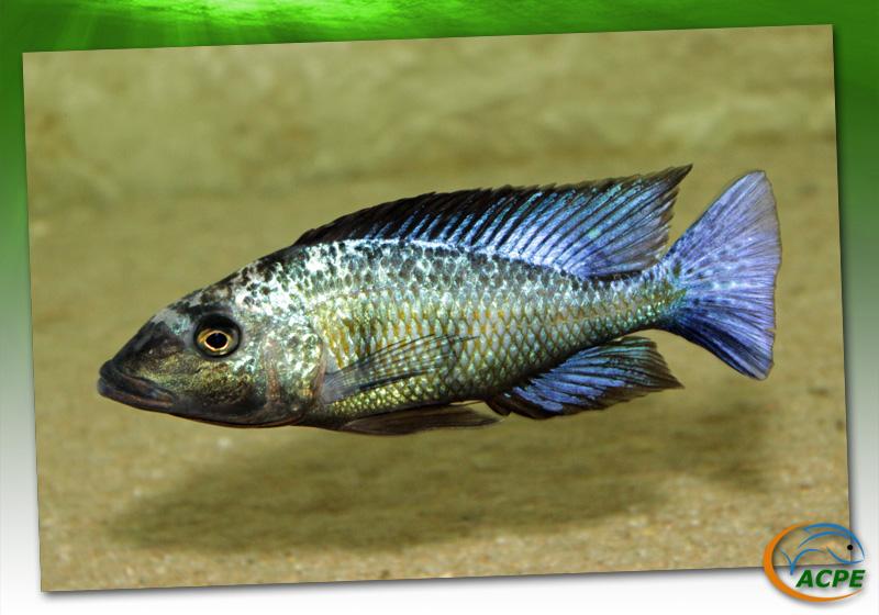 Fossorochromis rostratus, un cichlidé endémique du lac Malawi