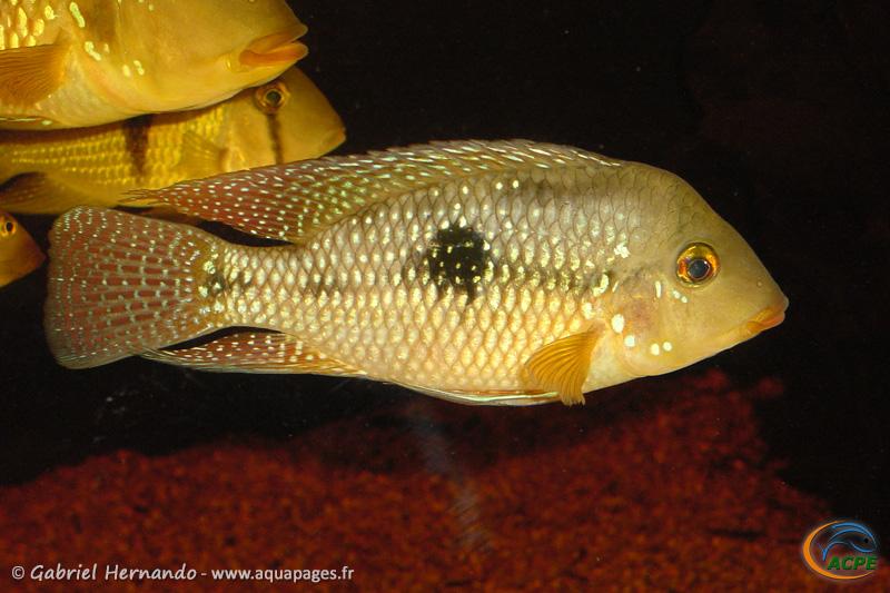 Geophagus cf brasiliensis (2004) - Cichlidae