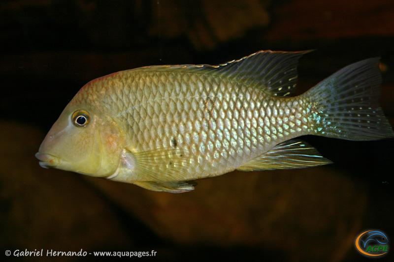 Geophagus steindachneri (2004) - Cichlidae