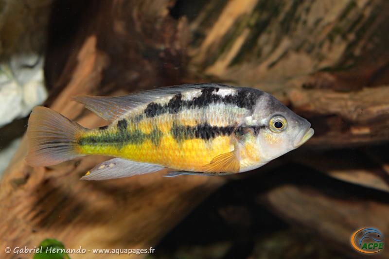 Haplochromis sauvagei Mwanza North (2014)