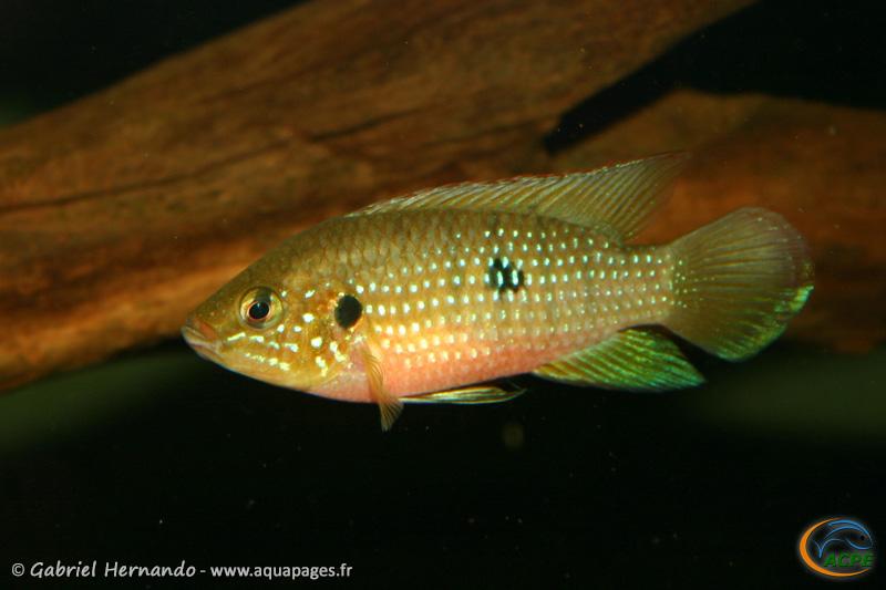 Hemichromis stellifer (2006) - Cichlidae