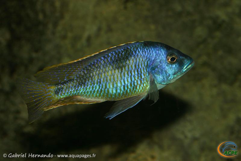Hemitilapia oxyrhyncha, mâle (2009)