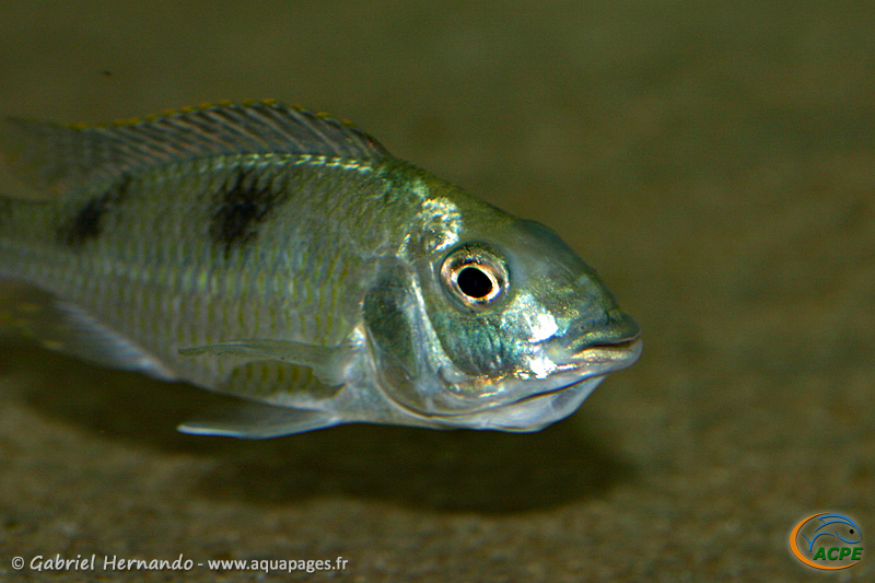 Hemitilapia oxyrhyncha, femelle en incubation (2009)