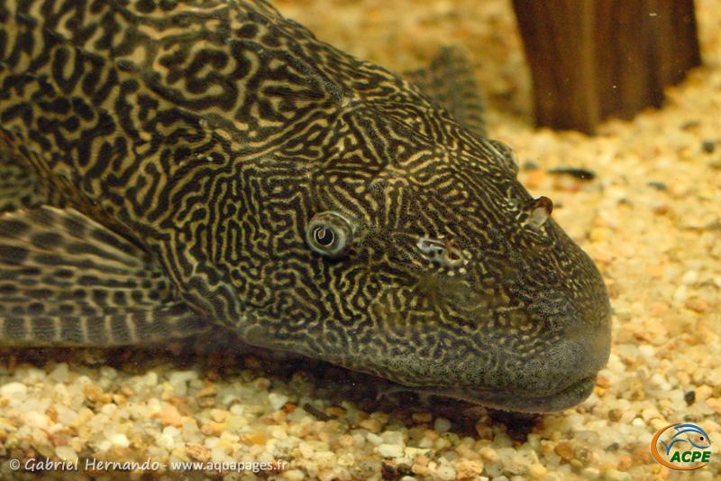 Hypostomus plecostomus (2003) - Loricariidae