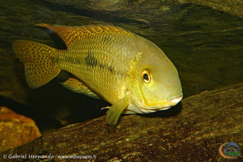 Hypsophrys nicaraguensis (2004) - Cichlidae