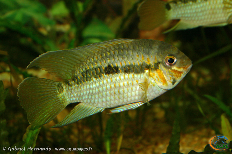 Krobia xinguensis (2004) - Cichlidae