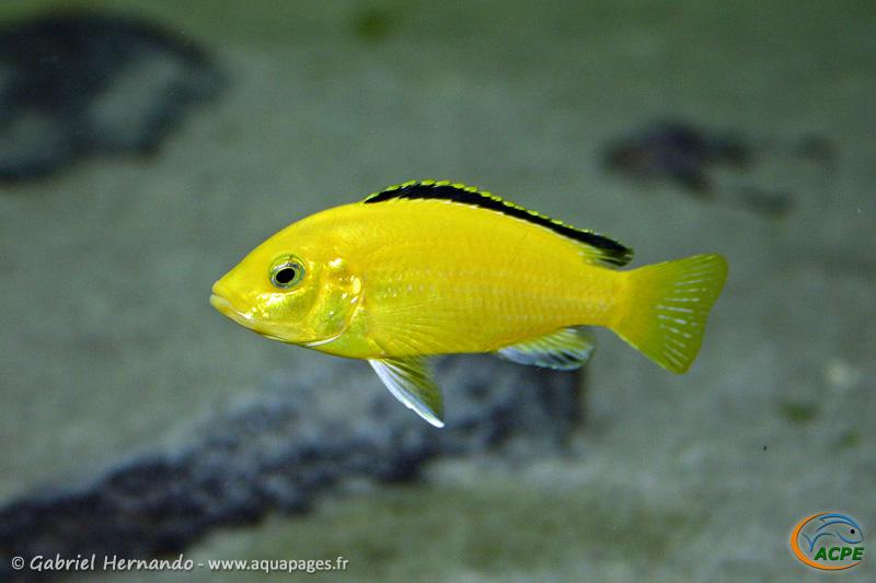 Labidochromis caeruleus (2004)