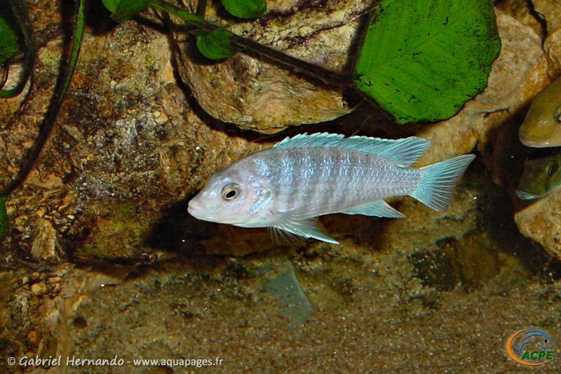 Labidochromis chizumulae (2001)