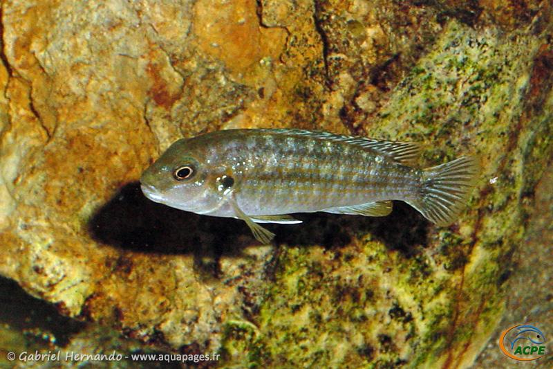 Labidochromis flavigulis (2001)
