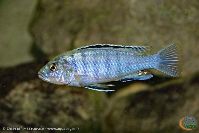 Labidochromis joanjohnsonae (2004)