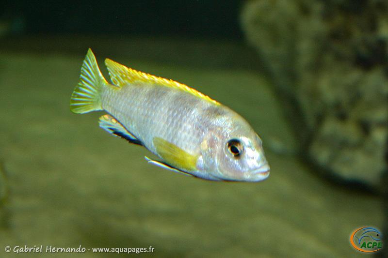 """Labidochromis sp. """"perlmutt"""" (2004)"""