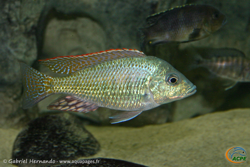 Lethinops lethrinus (2004)