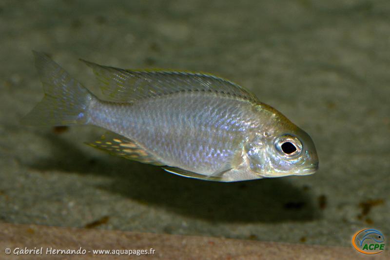 """Lethrinops sp. """"nyassae mbawa"""" (2008)"""