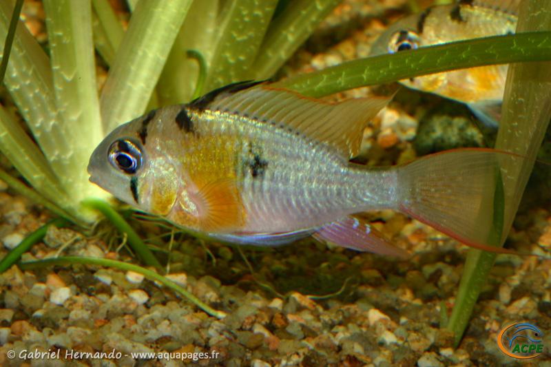 Mikrogeophagus altispinosus (2009) - Cichlidae