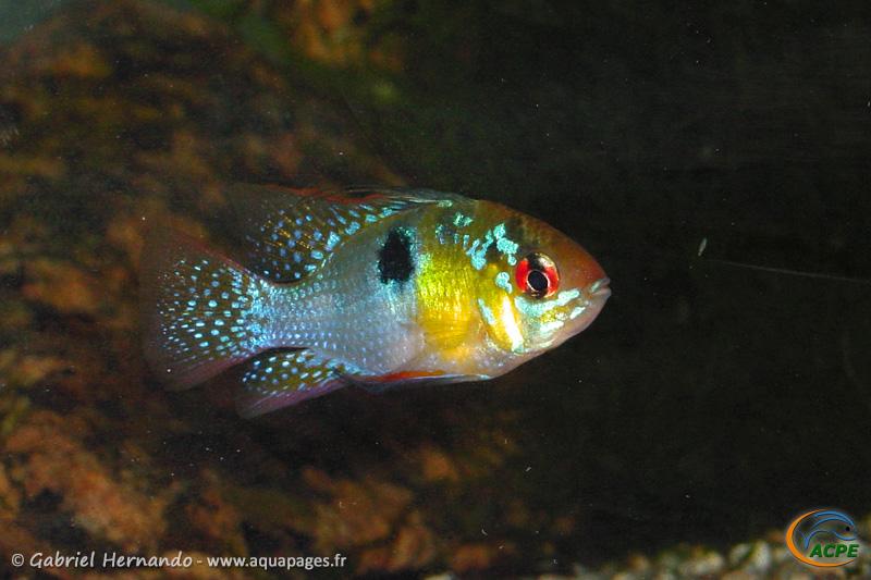 Mikrogeophagus ramirezi (2004) - Cichlidae