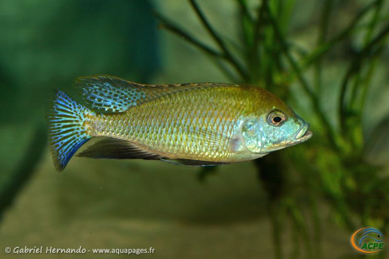 Mylochromis plagiotaenia, mâle (2010)