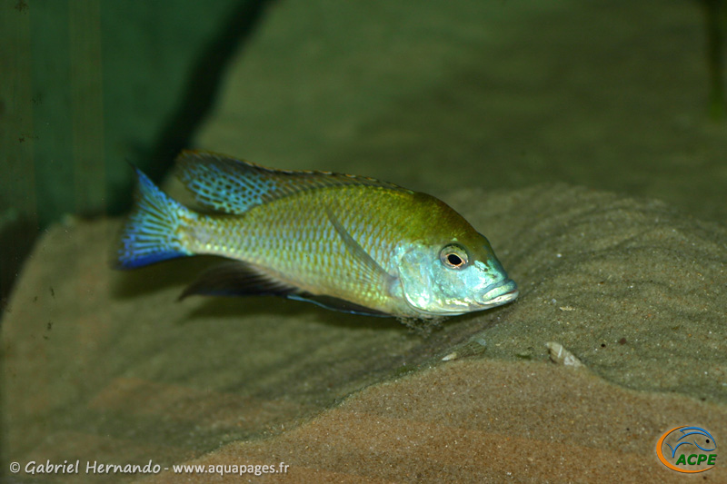 Mylochromis plagiotaenia, mâle entretenant son site de ponte (2010)