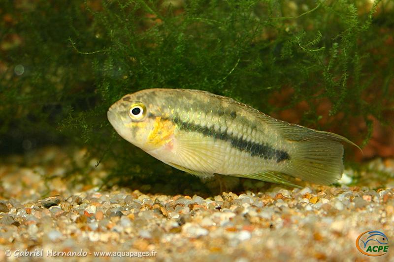 Nannacara aureocephalus (2004) - Cichlidae