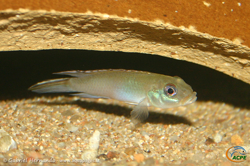 Nanochromis parilus (2007) - Cichlidae