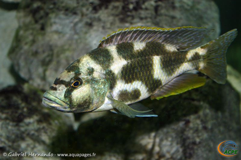 Nimbochromis livingstonii (2004)