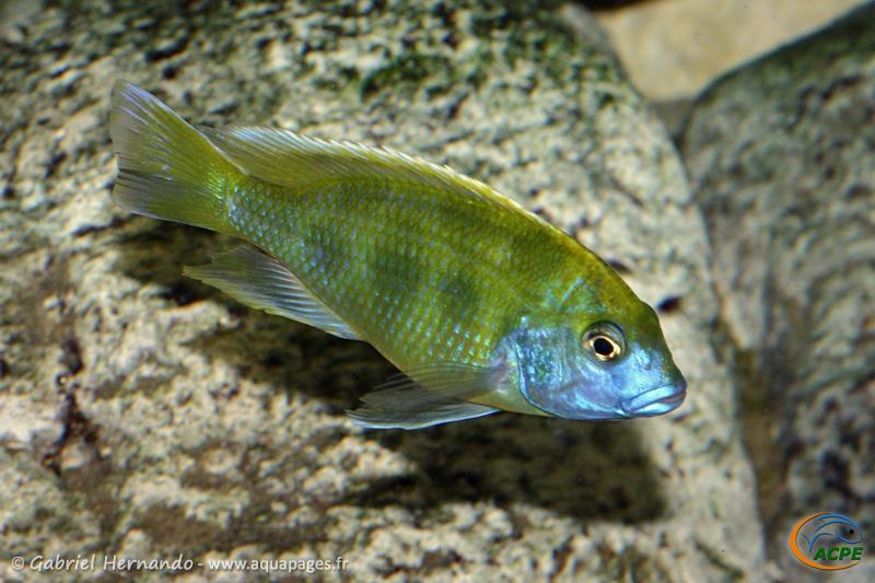 Nimbochromis venustus (2008)
